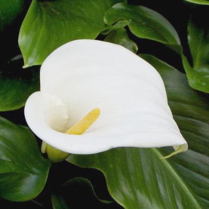 calla lilies care instructions flowers blog. Black Bedroom Furniture Sets. Home Design Ideas