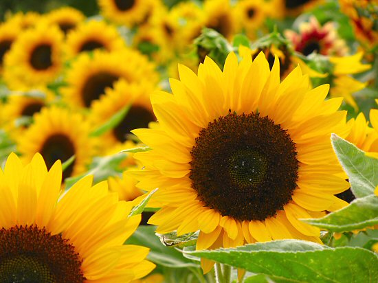 Sunflower Care & Instructions | Flowers Blog