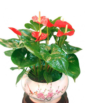 Six anthuriums