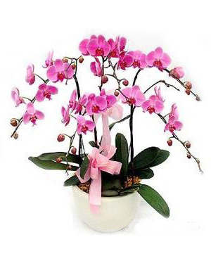 Moth Orchid Delivery in China