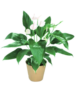 Five Peace Lilies, Peace Lily China
