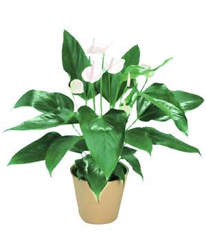 Five Peace Lilies