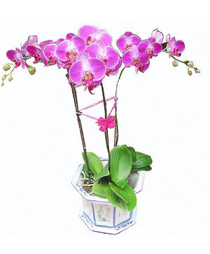 send moth orchid to China