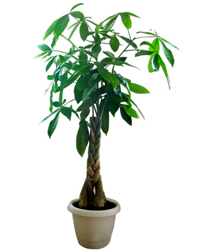 Chinese Money Tree, Facaishu or Bonsai Tree