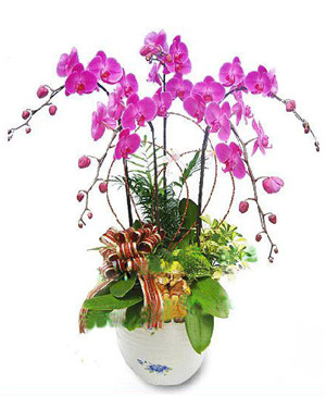 Moth Orchid A