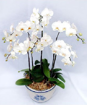 5 white moth orchid